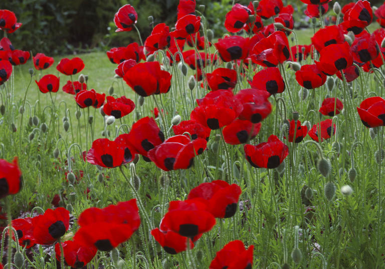 WWI poppies series page image